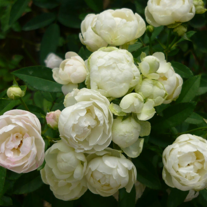 WHITE MARGO KOSTER TREE ROSE